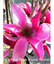 Magnolia x 'Burgundy Star'