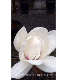 Magnolia x 'David Clulow'