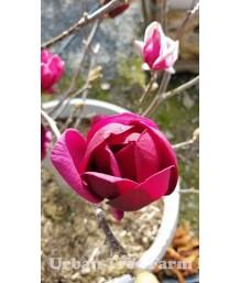 Magnolia x 'Genie'