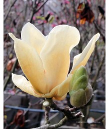 Magnolia x Elizabeth