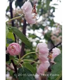 Malus ioensis 'Plena'