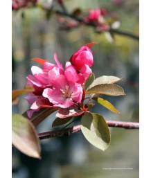 Malus Red Splendor
