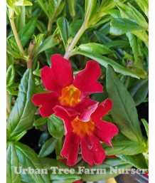Mimulus 'Jelly Bean Scarlet'