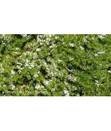 Myoporum parvifolium 'White'