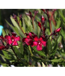 Nerium oleander 'Petite/Little Red'