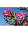 Nerium oleander 'Hardy Pink'