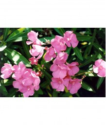 Nerium oleander 'Pink' STD