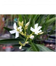 Nerium oleander 'White' STD