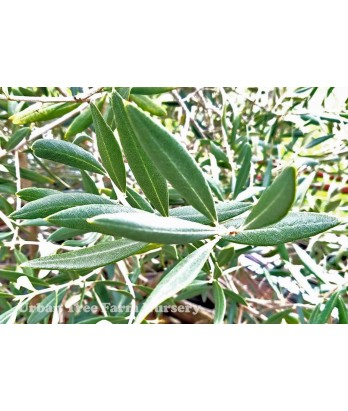 Olea europa 'Swan Hill' $ can vary