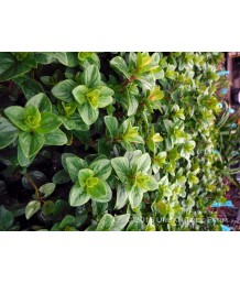 Origanum 'Green Goddess'