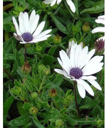 Osteospermum 'Blue Eye'