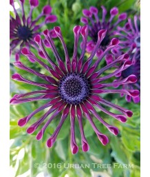 Osteospermum 'FlowerPower Spider Purple'