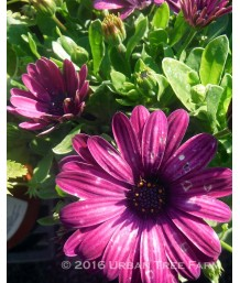 Osteospermum 'Serenity Dark Purple'