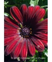 Osteospermum 'Serenity Red'