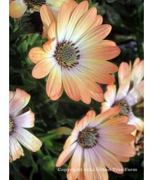 Osteospermum 'Serenity Peach Magic'