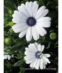 Osteospermum 'Serenity White Improved'