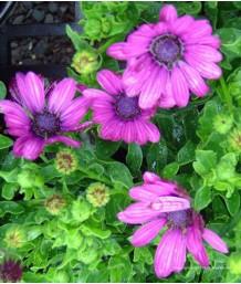 Osteospermum 'Soprano Purple'