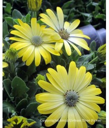 Osteospermum 'Symphony Lemon'
