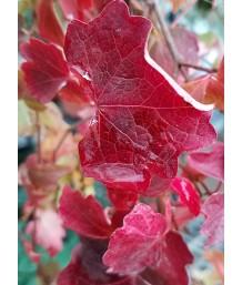 Parthenocissus tri. Veitchii