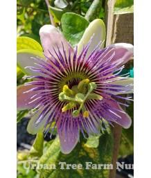Passiflora pfordtii (alatocaerulea)