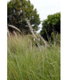 Pennisetum orrientalis 'Tall Tails'