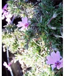 Phlox subulata 'Fort Hill Pink'