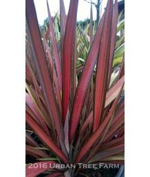 Phormium cookianum 'Crimson Devil'