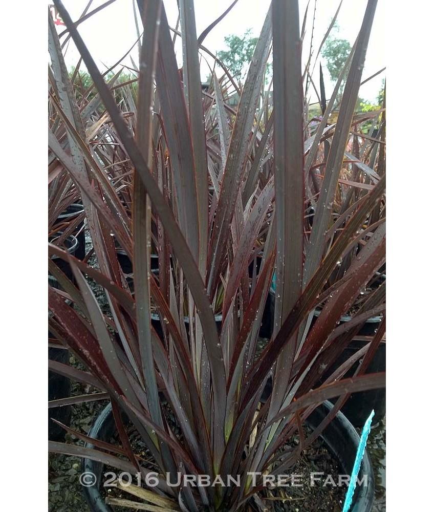 Evergreen Shrub Phormium T Dusky Chief Urban Tree Farm Nursery