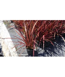 Phormium tenax 'Rainbow Warrior'