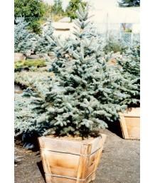 Picea pungens 'Bachari'