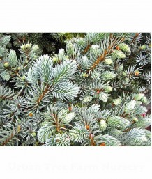 Picea pungens 'Globosa' SPECIMEN
