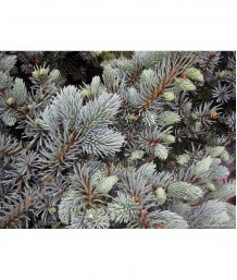 Picea pungens 'Globosa' STD