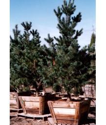 Pinus flexilis 'Vanderwolf'