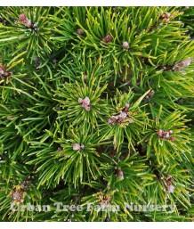 Pinus mugo mugo 'Pumilo'