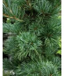 Pinus parvilflora 'Tempelhof'