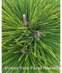 Pinus thunbergiana 'Thunderhead'
