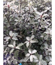 Pittosporum tenuifolium 'Irene Patterson'