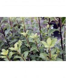 Pittosporum tenufolium Std.