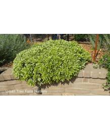 Pittosporum tobira 'Creme D' Mint'