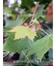 Platanus acerifolia 'Bloodgood'