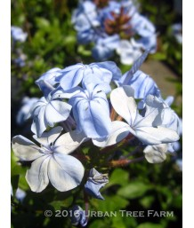 Plumbago a. Imperial Blue