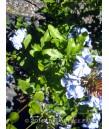 Plumbago auriculata 'Imperial Blue'
