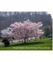 Prunus yedoensis 'Yoshino'