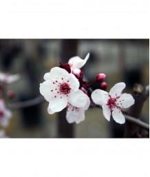 Prunus cerasifera 'Krauter Vesuvius' STD