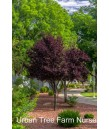 Prunus cerasifera 'Purple Pony'
