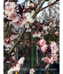 Prunus c. Thundercloud