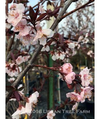 Prunus cerasifera 'Thundercloud'