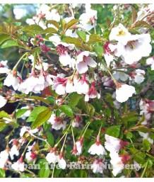 Prunus incisa 'Little Twist'