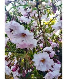 Prunus serrulata 'First Blush'