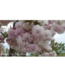 Prunus serrulata 'Shirofugen'